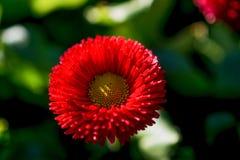 Flores bonitas do áster na natureza Foto de Stock
