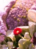 Flores bonitas do áster na natureza Imagens de Stock