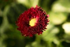 Flores bonitas do áster na natureza Imagem de Stock