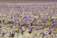 Flores bonitas do açafrão Foto de Stock Royalty Free