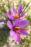 Flores bonitas do açafrão Imagens de Stock Royalty Free