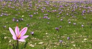 Flores bonitas do açafrão Fotos de Stock