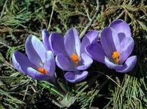 Flores bonitas do açafrão da mola Foto de Stock Royalty Free