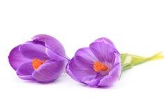 Flores bonitas do açafrão da mola Imagens de Stock Royalty Free
