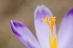 Flores bonitas do açafrão em montanhas de Tatry imagens de stock
