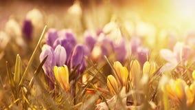Flores bonitas do açafrão no por do sol Foto de Stock Royalty Free