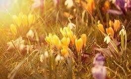 Flores bonitas do açafrão no por do sol Fotografia de Stock