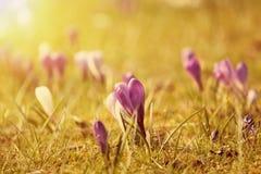 Flores bonitas do açafrão no por do sol Fotos de Stock Royalty Free