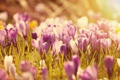 Flores bonitas do açafrão no por do sol Imagem de Stock Royalty Free