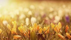 Flores bonitas do açafrão no por do sol Imagens de Stock