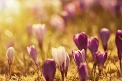 Flores bonitas do açafrão no por do sol Fotos de Stock