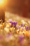 Flores bonitas do açafrão no por do sol Fotografia de Stock Royalty Free