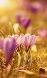 Flores bonitas do açafrão no por do sol Imagens de Stock Royalty Free