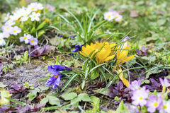 Flores bonitas do amarelo do chrysanthus do açafrão da mola Foto de Stock