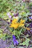 Flores bonitas do amarelo do chrysanthus do açafrão da mola Imagem de Stock Royalty Free