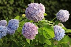 Flores bonitas do azul e do lila da hortênsia fotos de stock royalty free