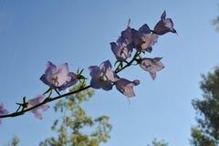 Flores bonitas do bellflower pêssego-com folhas em borrar o fundo natural Persicifolia de floresc?ncia da camp?nula imagem de stock