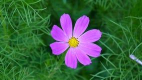 Flores bonitas do cosmos no canteiro de flores Fim acima vídeos de arquivo