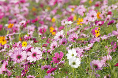 Flores bonitas do cosmos no jardim imagens de stock royalty free