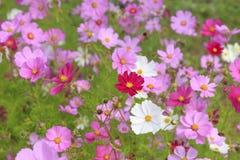 Flores bonitas do cosmos no jardim imagens de stock