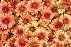 Flores bonitas do crisântemo Foto de Stock