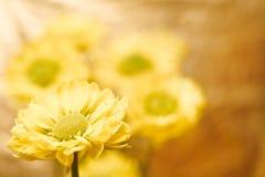 Flores bonitas do crisântemo da mola Fotografia de Stock