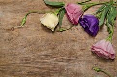 Flores bonitas do eustoma Foto de Stock