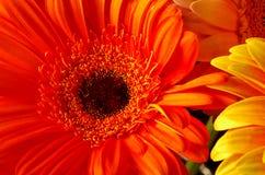 Flores bonitas do gerber Fotografia de Stock Royalty Free
