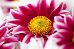 Flores bonitas do gerbera Imagem de Stock Royalty Free
