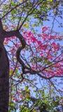flores bonitas do ipê rosa na época da florescência, esta a foto de stock