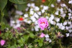 Flores bonitas do jardim Imagens de Stock Royalty Free