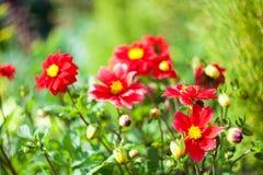 Flores bonitas do jardim Fotos de Stock Royalty Free