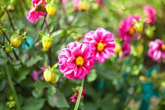Flores bonitas do jardim Fotografia de Stock Royalty Free