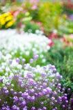 Flores bonitas do jardim Foto de Stock