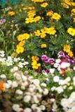 Flores bonitas do jardim Foto de Stock Royalty Free