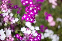 Flores bonitas do jardim Fotografia de Stock