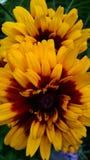 Flores bonitas do jardim do verão de Michigan fotos de stock
