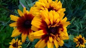 Flores bonitas do jardim do verão de Michigan imagens de stock