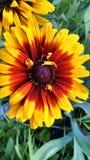 Flores bonitas do jardim do verão de Michigan fotografia de stock