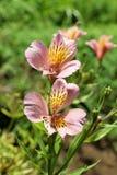 Flores bonitas do lírio na natureza foto de stock