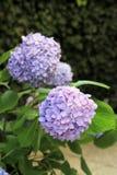 Flores bonitas do lila da hortênsia imagens de stock royalty free