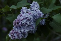 Flores bonitas do lilac do Close-up imagem de stock