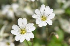 Flores bonitas do morrião dos passarinhos de campo no jardim imagens de stock royalty free