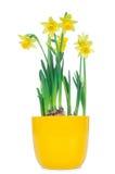 Flores bonitas do narciso da mola Imagens de Stock