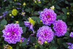 Flores bonitas do outono Imagem de Stock