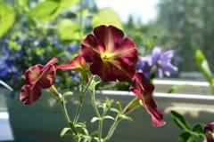 Flores bonitas do petúnia Balcão que esverdeia com plantas decorativas fotografia de stock royalty free