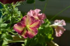 Flores bonitas do petúnia Balcão que esverdeia com plantas decorativas Dia de verão ensolarado imagem de stock royalty free