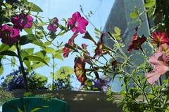 Flores bonitas do petúnia Jardim pequeno acolhedor no balcão com plantas decorativas imagens de stock