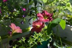 Flores bonitas do petúnia no jardim perfeito no balcão Esverdeamento com plantas decorativas fotos de stock royalty free