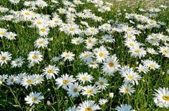 Flores bonitas do prado Imagens de Stock Royalty Free